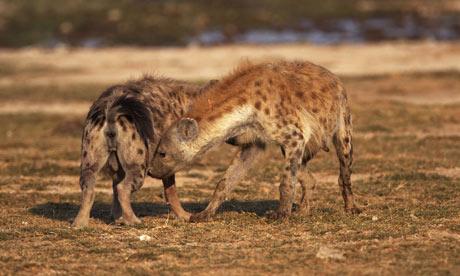 spotted hyena (Crocuta crocuta), welcoming each other, Kenya, Amboseli National Park